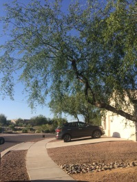 tree_az_lavillita_greenvalley