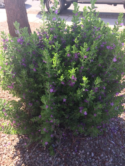 pruned, caned, shrub, az, flowers, sahuarita